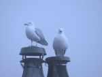 The St Dogmaels Chimney Pot Gulls FOR SALE